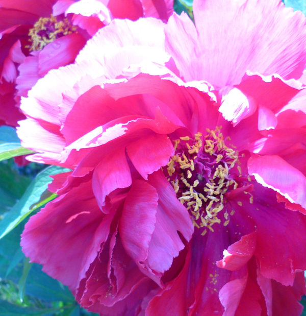 pictures of peonies